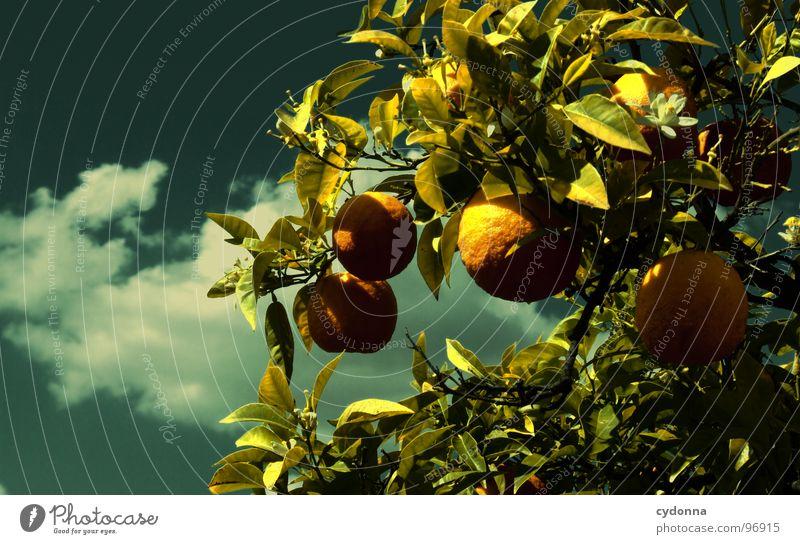 Ungespritzt Himmel Natur Ferien & Urlaub & Reisen grün schön Baum Pflanze Sonne Sommer Wolken Leben Garten Park Frucht Orange außergewöhnlich