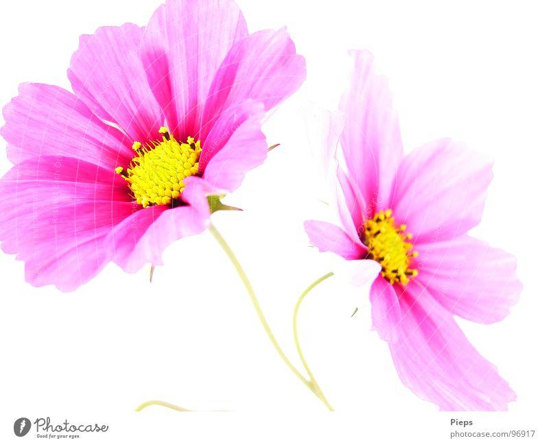 Frohsinn am Stiel Farbfoto Innenaufnahme Hintergrund neutral Kontrast Sommer Garten Dekoration & Verzierung Natur Pflanze Blume Blüte Blühend rosa weiß