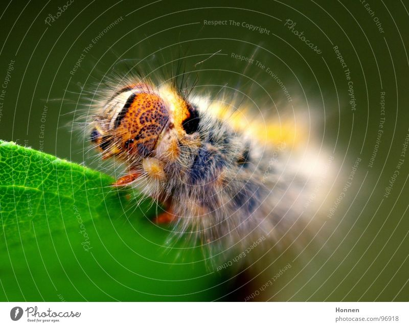 Was für ein Spinner! -- 3 blau Pflanze schwarz Tier gelb Insekt Schmetterling Gemälde krabbeln Entwicklung Raupe Kleespinner