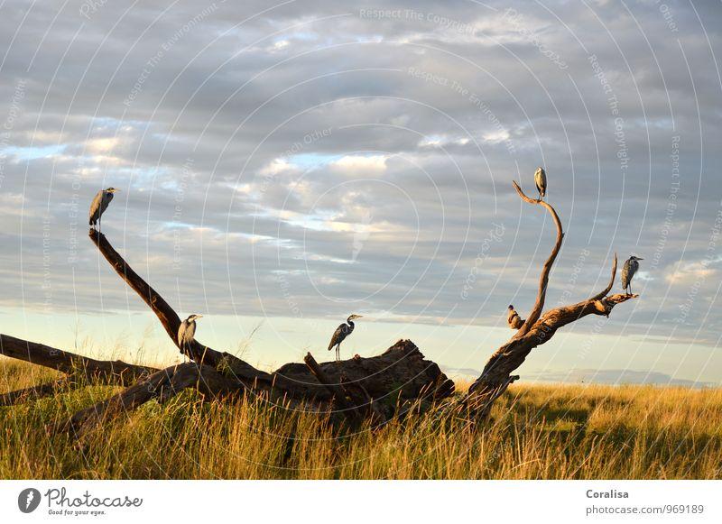 Auf der Lauer Pflanze Tier Wolken Gras Wurzelholz Nationalpark Serengeti NP Tansania Afrika Menschenleer Vogel Schwarm Stimmung Macht loyal geduldig ruhig