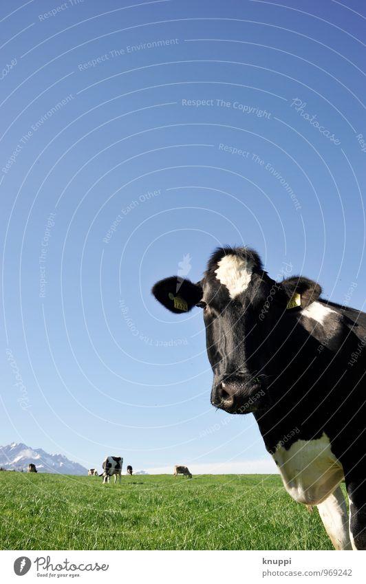 Was guckst du!?... Natur Luft Himmel Wolkenloser Himmel Sonne Sonnenlicht Sommer Schönes Wetter Wärme Gras Wiese Feld Tier Nutztier Kuh Tiergesicht Fell 1