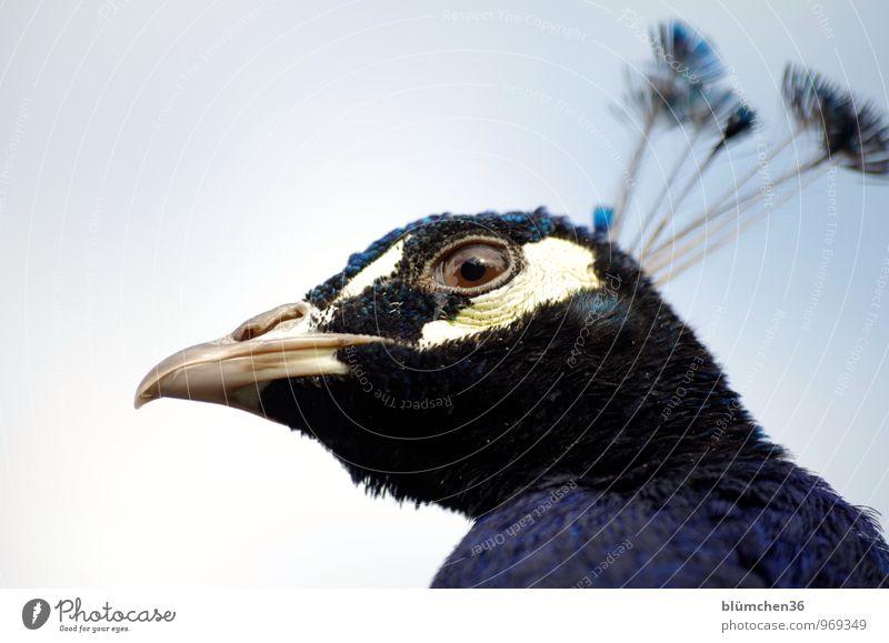 von oben herab Tier Wildtier Vogel Tiergesicht Pfau Hühnervögel Federvieh Pfauenfeder Auge Schnabel Kopf beobachten Blick ästhetisch bedrohlich natürlich