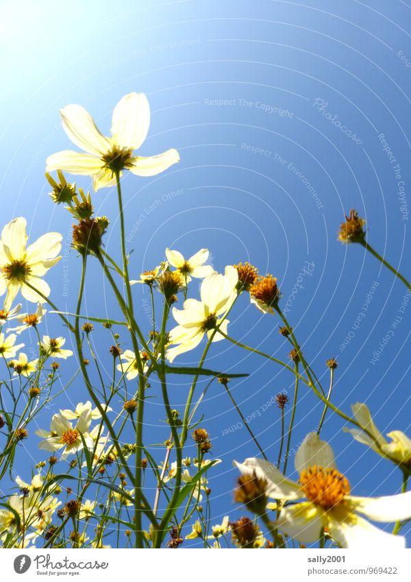 Der Sonne entgegen... Pflanze Wolkenloser Himmel Sommer Schönes Wetter Blume Sträucher Blühend Duft leuchten Wachstum weiß Glück Natur Blütenpflanze verblüht