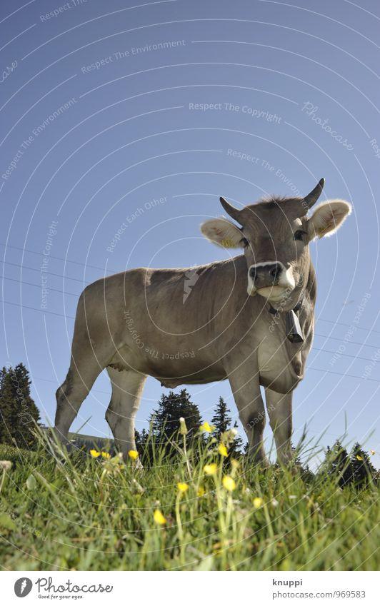 Natürlich | Schweizer Klischee-Kuh Umwelt Natur Landschaft Erde Himmel Wolkenloser Himmel Sonne Sonnenlicht Frühling Sommer Klima Klimawandel Wetter