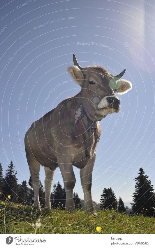 ...und cheese Umwelt Natur Himmel Wolkenloser Himmel Sonne Sonnenlicht Frühling Sommer Schönes Wetter Wärme Gras Alpen Berge u. Gebirge Rigi Tier Nutztier Kuh