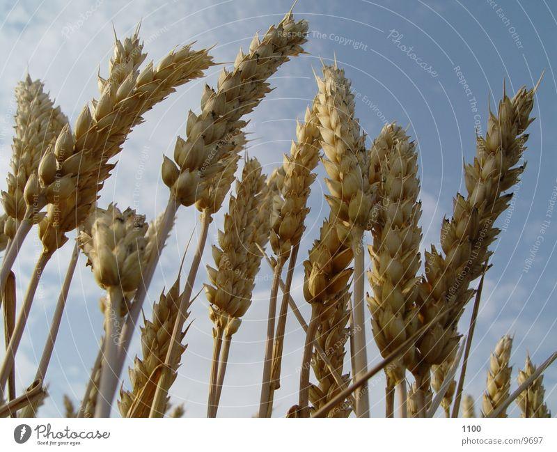 Kornfeld Weizen Feld Sommer Gerste Ernte Halm Ernährung Getreide Lebensmittel