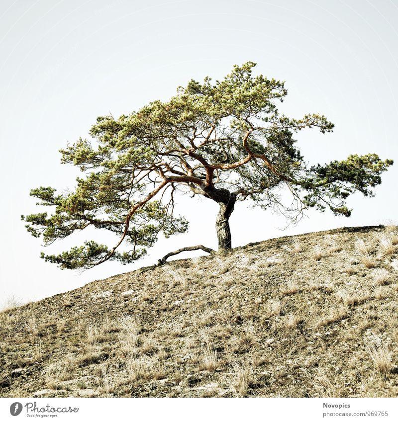 Pinus sylvestris Natur Landschaft Sand Wolkenloser Himmel Baum Gras Hügel Holz alt fest heiß hell blau braun grün weiß Einsamkeit Umweltschutz Kiefer