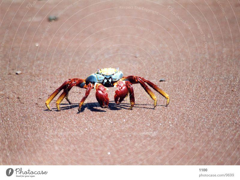 Krebs Tier Meeresfrüchte Strand Galapagosinseln Ferien & Urlaub & Reisen analog Sandstrand Krustentier Südamerika Krebstier Meerestier Wasser Flink