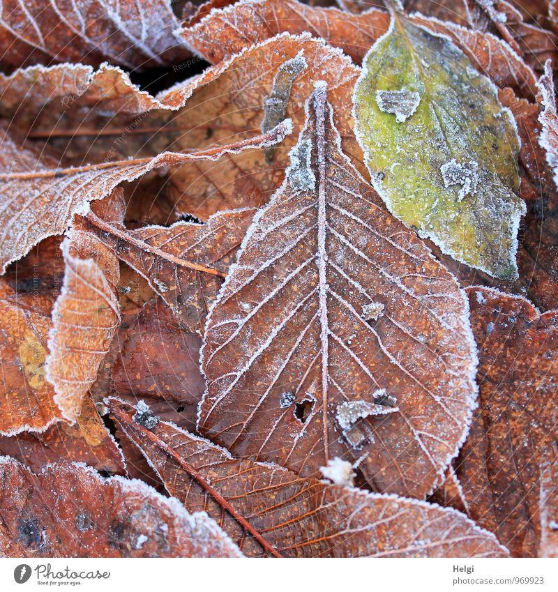 frostig angehaucht... Natur alt Pflanze grün weiß Blatt ruhig Winter kalt Umwelt Leben natürlich außergewöhnlich braun Stimmung liegen
