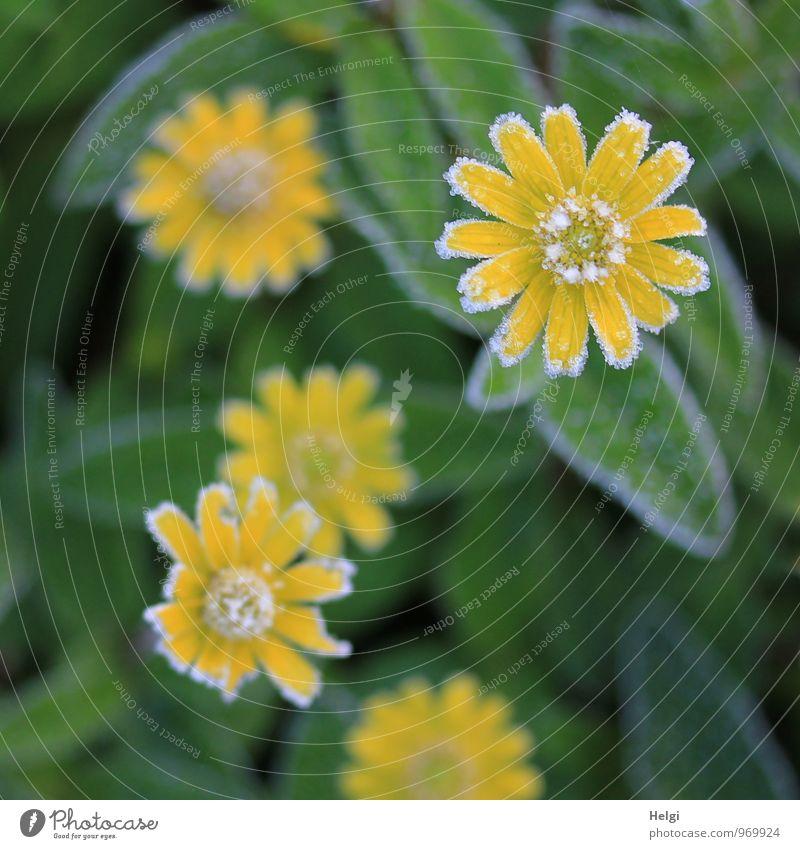 durchhalten... Umwelt Natur Pflanze Winter Eis Frost Blume Blatt Blüte Park Blühend frieren ästhetisch authentisch außergewöhnlich schön kalt klein natürlich
