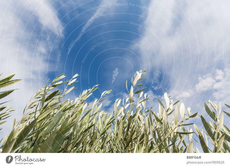 Wachstum - Streben zum Himmel Natur Ferien & Urlaub & Reisen blau Pflanze grün weiß Sommer Landschaft Wolken Umwelt Wiese Gras Frühling Freiheit Garten