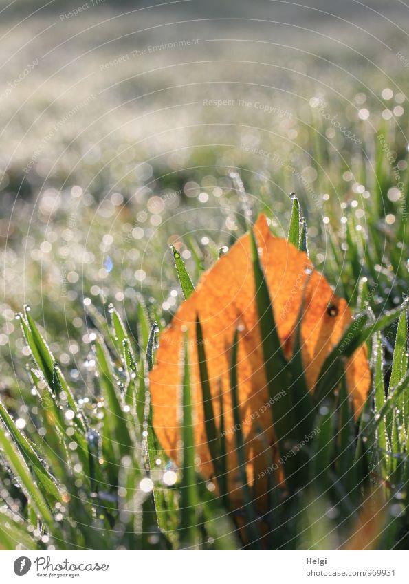 kalt und nass... Umwelt Natur Landschaft Pflanze Wassertropfen Herbst Schönes Wetter Gras Blatt Wiese glänzend leuchten dehydrieren Wachstum authentisch
