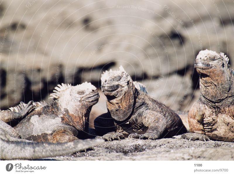 meerechsen Ferien & Urlaub & Reisen Echsen Ecuador Galapagosinseln Meerechsen