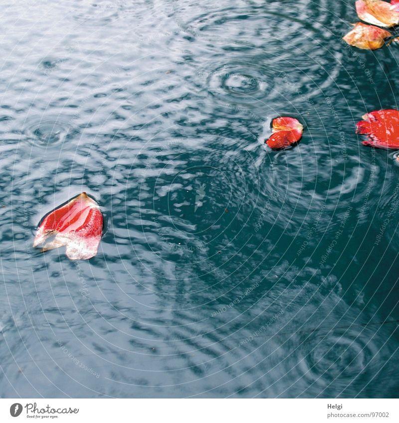 rote Rosenblätter schwimmen bei Regen in einer Pfütze nass Blume Blüte Blütenblatt weiß fallen Reflexion & Spiegelung Kreis Vergänglichkeit Unwetter Sommer