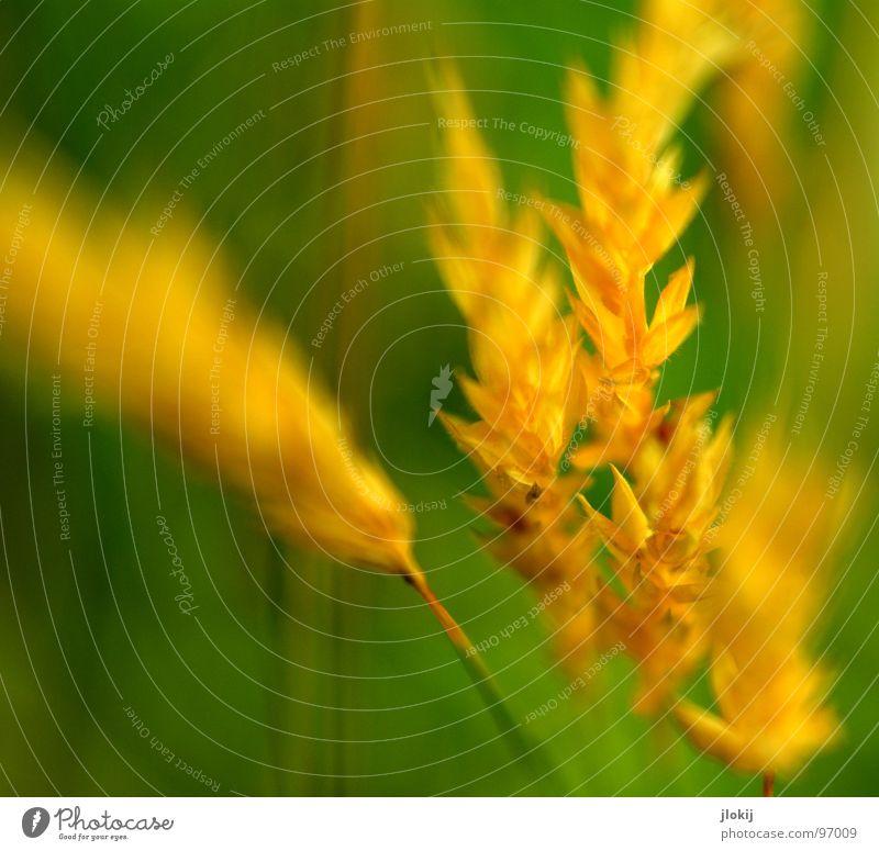 Gelbgold II Gras grün Stengel Ähren gelb Wachstum Pflanze Frühling flattern schimmern Wiese Feld Pollen Rispen Lampe Natur Blühend Duft wedeln Wind Weide