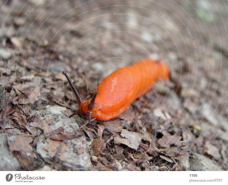 Schöne Schnecke schön rot Tier Schleim Nacktschnecken