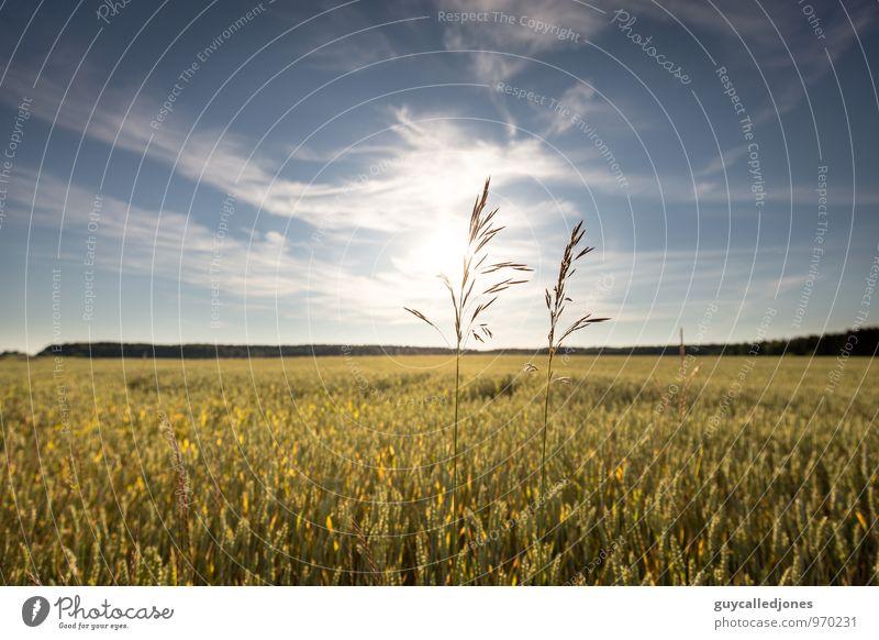 Sommer Lebensmittel Bioprodukte Natur Landschaft Himmel Wolken Horizont Sonne Herbst Schönes Wetter Pflanze Gras Nutzpflanze Weizen Weizenfeld Lebensfreude