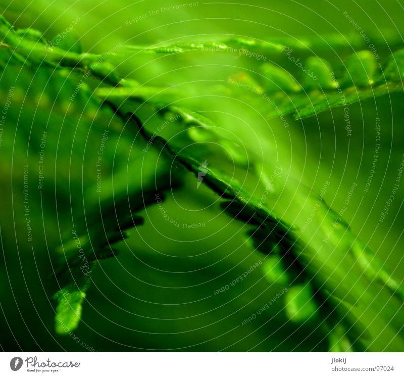 X Pflanze grün Schatten feucht dunkel Biologie Wachstum Echte Farne Sporen Frühling berühren zart weich Unschärfe Licht Natur Wedel Hexenkraut sanft Kontrast