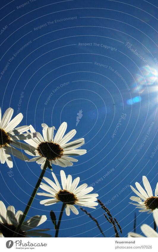 Guten Morgen liebe Sonne! Himmel Sonne Blume blau Pflanze Sommer Freude Blüte Frühling Garten hell Wachstum Sonnenbad Schönes Wetter Margerite Stauden