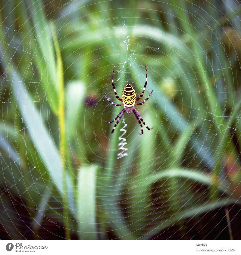 Wespenspinne Natur Gras Spinne Spinnennetz 1 Tier bauen warten ästhetisch Ekel listig natürlich geduldig gefährlich planen Überleben Hinterhalt Farbfoto