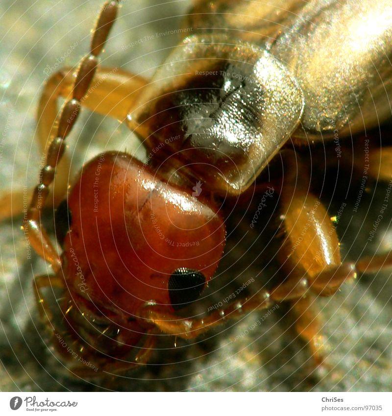 Der gemeine Ohrwurm (Forficula auricularia) grün Tier Auge braun Angst glänzend Schilder & Markierungen Insekt Ekel Panik Fühler gepanzert Nordwalde Zange