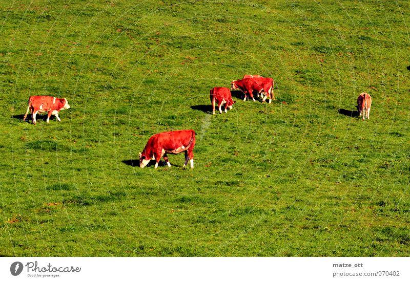 Viererkette in Perfektion Natur grün Sommer Tier Wiese Glück Essen Idylle Tiergruppe Landwirtschaft Hügel Alpen Team Kuh Fressen Forstwirtschaft