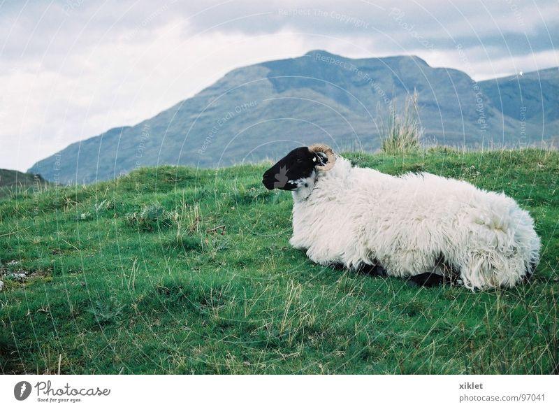 black &white Farbfoto Außenaufnahme Abend Starke Tiefenschärfe Wegsehen ruhig Berge u. Gebirge Landschaft Tier Frühling Wärme Gras Wiese Fell liegen Blick