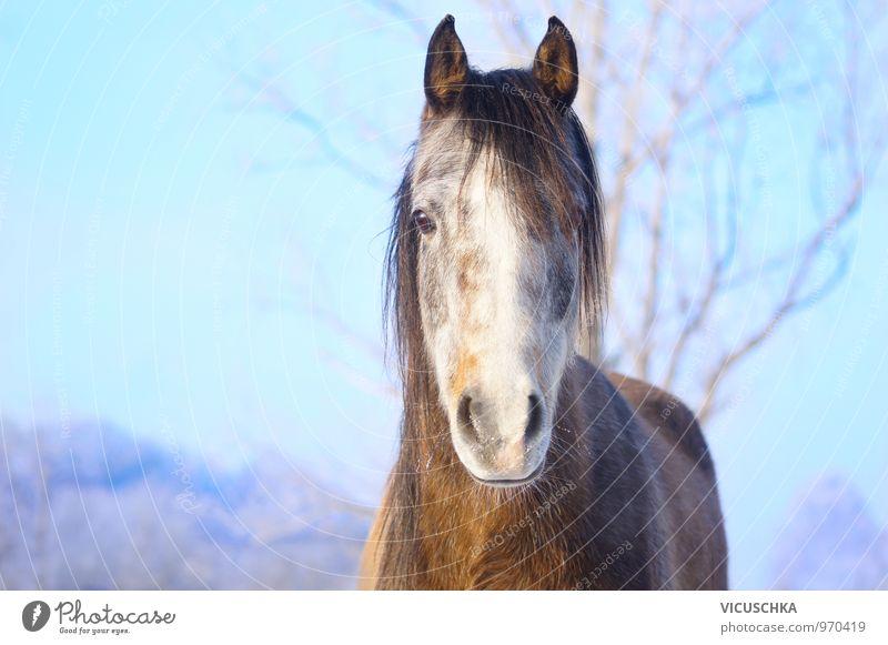 Junges Pferd mit Raureif auf der Nase Natur Landschaft Tier Himmel Winter Schönes Wetter Park Haustier Nutztier 1 Schimmel Araber Vollblut Schneefall Fell Blick