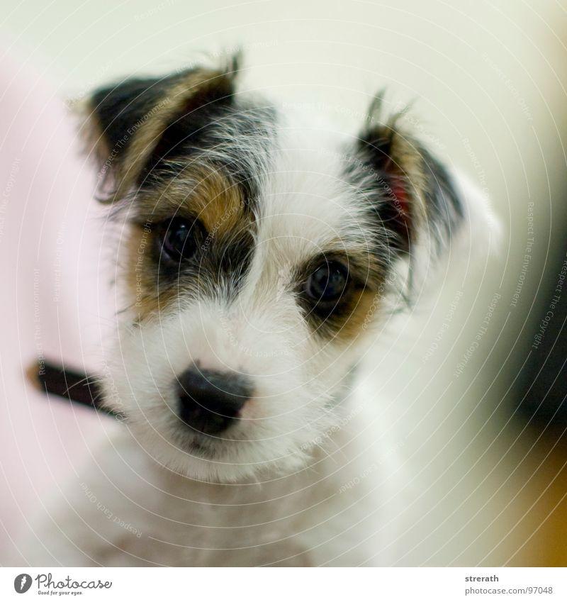 der is ja niedlich! Welpe Hund Knopfauge Hundeblick Terrier Neugier Vertrauen Körperhaltung charmant Liebling weiß braun schwarz Stofftiere weich schön