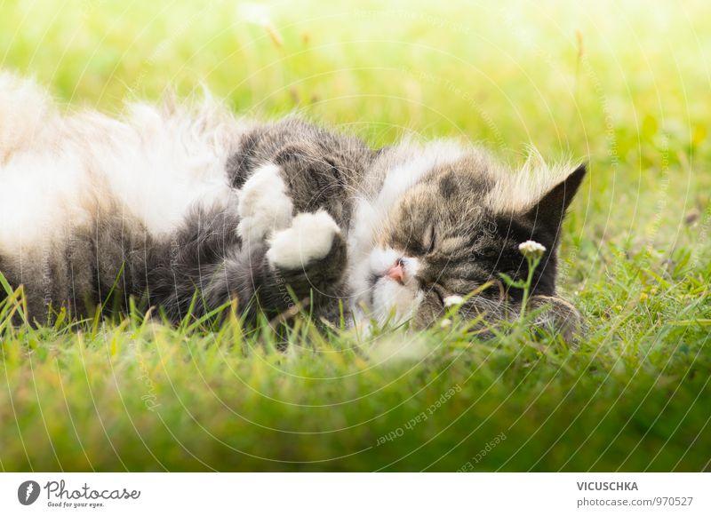 flauschige Katze schläft auf Gras an der Sonne Natur Pflanze Sommer Tier Wiese grau Garten liegen Park niedlich schlafen Fell Haustier