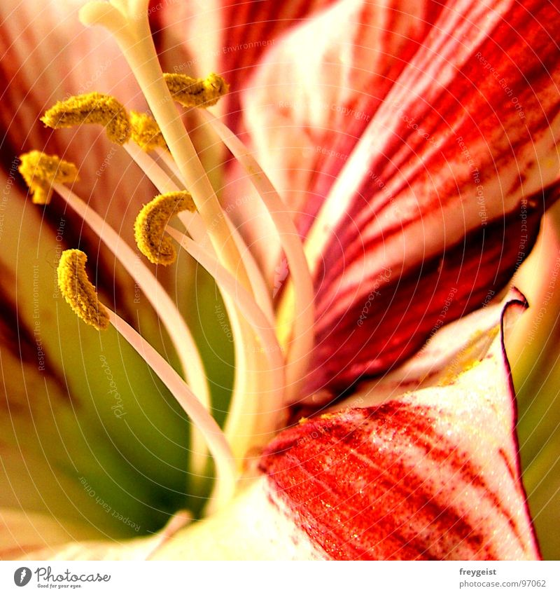 Colourful Amaryllis Blume Amaryllisgewächse Pflanze Detailaufnahme flower Makroaufnahme Nahaufnahme Natur