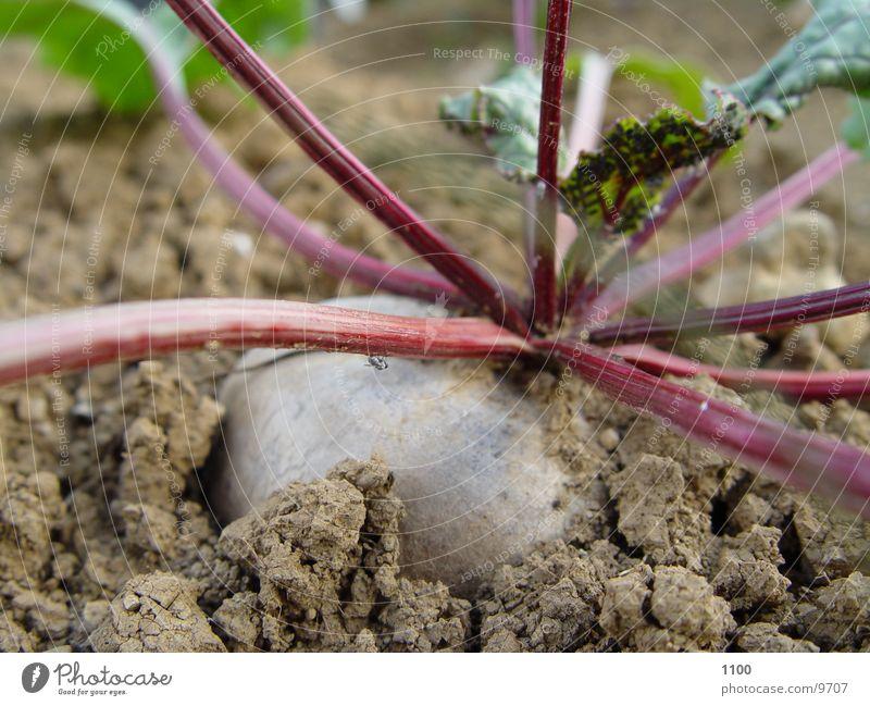 Rote-Bete-Gemüse Gesundheit Garten Makroaufnahme Erde Bodenbelag Gartenbau