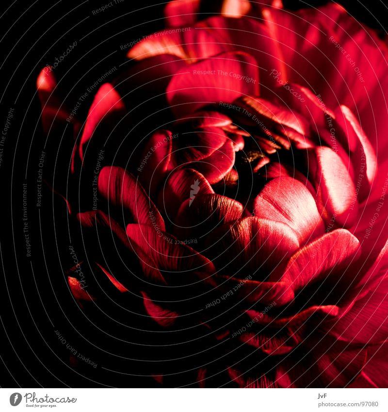 [B][L][U][M][E] Blume rot Trauer entfalten aufmachen Blütenblatt Makroaufnahme Nahaufnahme flower red Schatten ich kenn den namen nicht