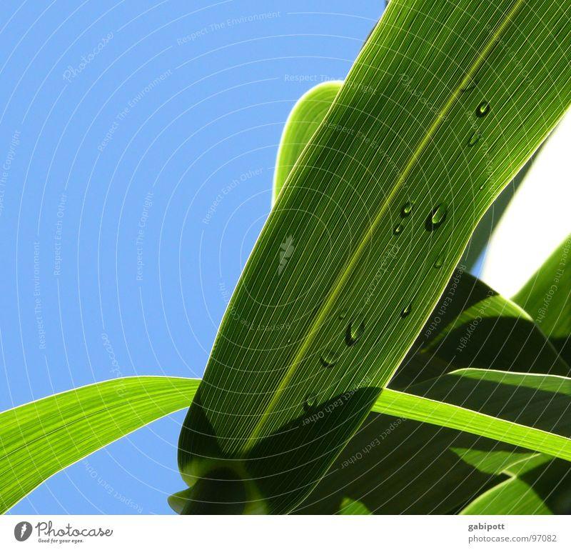 Sasa palmata f. nebulosa II Himmel Natur blau grün Pflanze Freude ruhig Erholung Leben Glück Garten Regen Gesundheit Zufriedenheit frisch Wassertropfen