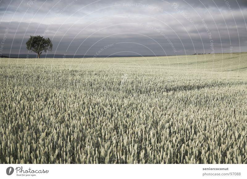 Es wird Regen geben Himmel Baum Pflanze Feld Landwirtschaft Getreide Ackerbau Gewitter Weizen