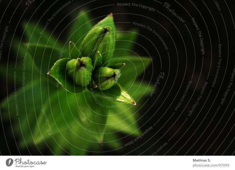 Primetime Blume mehrfarbig Pflanze Einsamkeit Tentakel schwarz grün Blütenpflanze Dreieck 3 sprießen Trauer emotionslos Bundesland Tirol Österreich Sommer