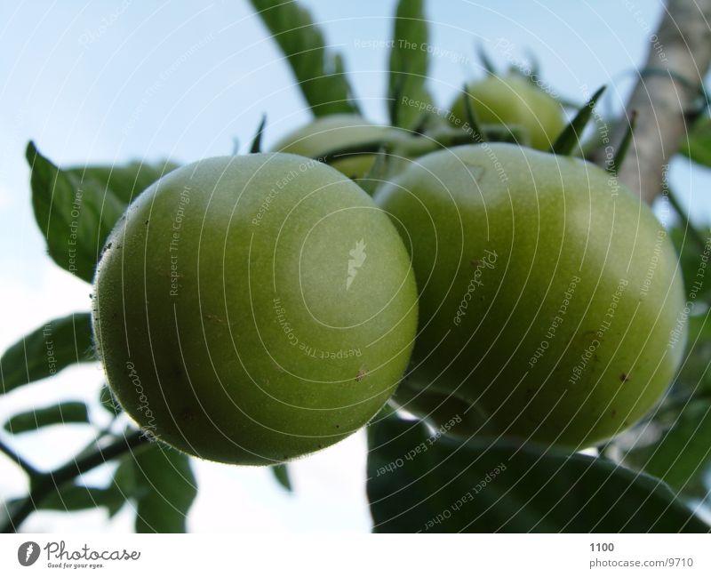 Grüne Tomaten grün Garten Gesundheit Gartenbau Strauchtomate
