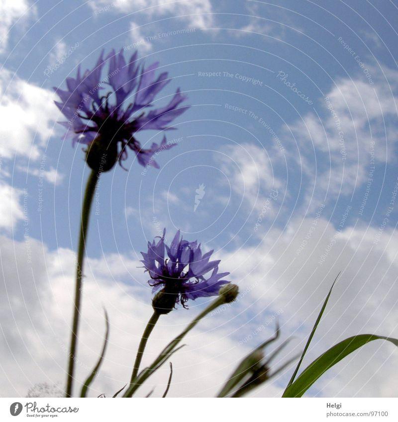 Kornblumen III Blume Blüte Blütenblatt Stengel Halm grün Wolken weiß Sommer Juli Blühend emporragend Feld Straßenrand sommerlich zart filigran blau Himmel