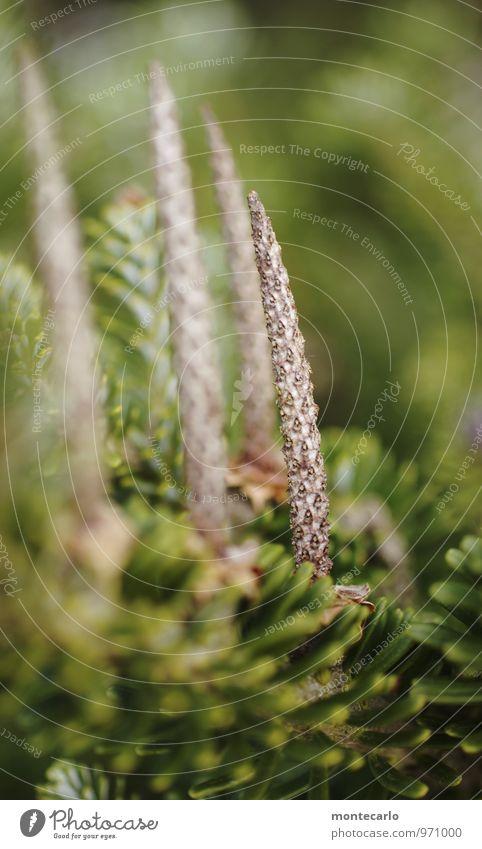 4 Advent Umwelt Natur Pflanze Baum Grünpflanze Wildpflanze Zapfen dünn authentisch einfach hoch klein lang nah natürlich Spitze wild braun grün Farbfoto