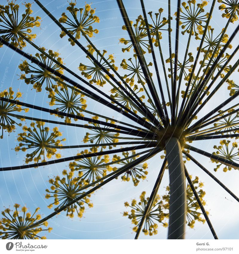 umbles himmelblau Doldenblütler Doldenblüte Blüte Blume Pflanze gelb Stengel Froschperspektive Wolken Dill Regenschirm blossom Natur Perspektive Speichen