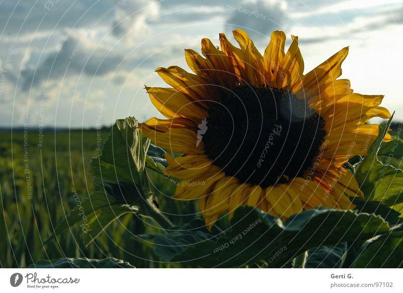 here comes the sun Sommer Wolken schlechtes Wetter Pflanze gelb Sonnenblume Sonnenblumenkern Licht Lichtfleck Blüte Blumenfeld Sonnenblumenfeld Feld Unikat blau