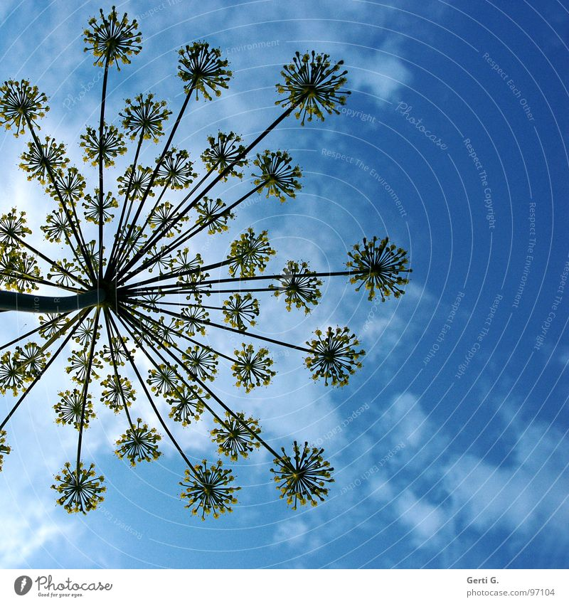 umbles ² Natur Blume blau Pflanze Wolken gelb Blüte Perspektive Regenschirm Stengel himmelblau Speichen Heilpflanzen Doldenblüte Dill Doldenblütler