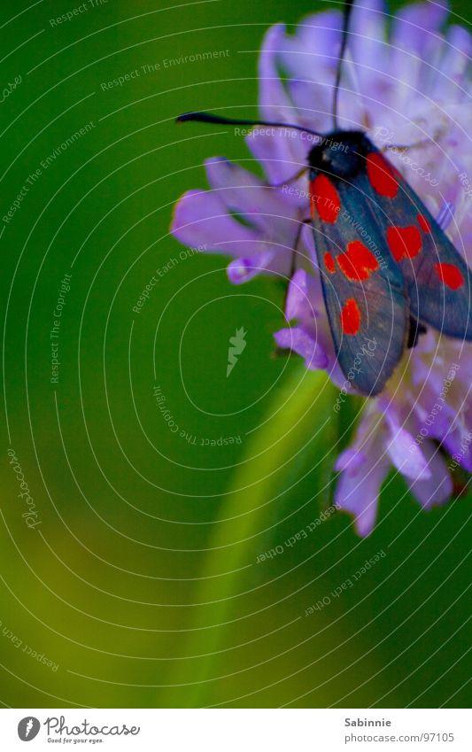 Falter rot-blau Blume Pflanze fliegen Flügel Insekt Schmetterling Stengel Blühend Widderchen Blutströpfchen