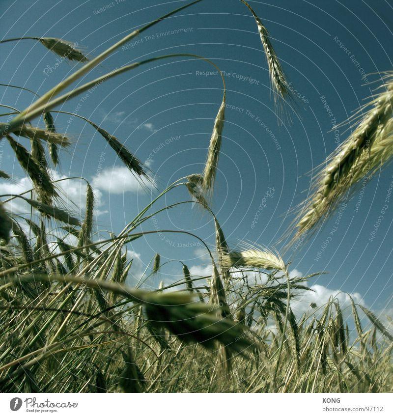 grain is good Korn Ähren Gerste Feld Ackerbau Landwirtschaft durcheinander Himmel Wachstum Halm Sommer Vegetarische Ernährung Hordeum vulgare Ernte reif trocken