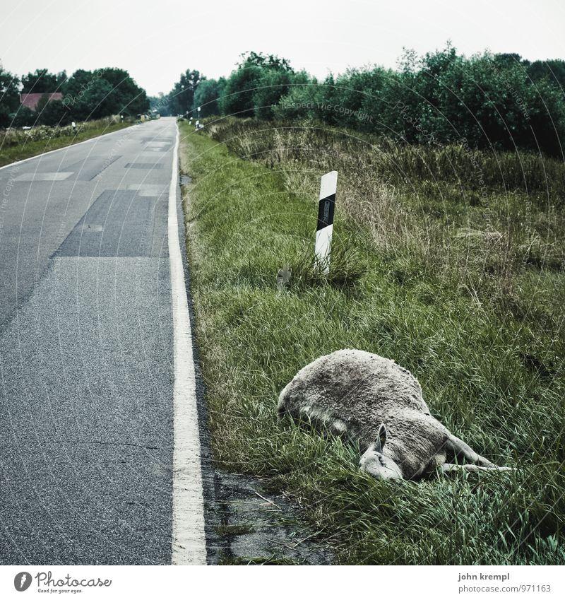 Hunf nach Action Autofahren Straße Schaf 1 Tier liegen dunkel trist Trauer Tod gefährlich Einsamkeit Fortschritt Schmerz Traurigkeit Umwelt Vergänglichkeit