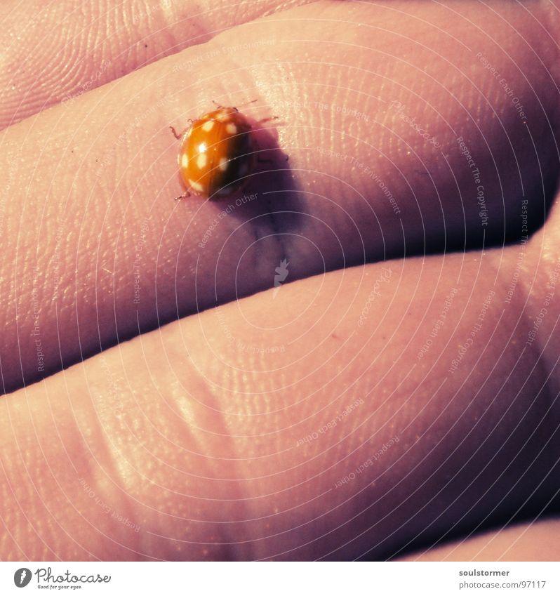 Adalia decempunctata II Marienkäfer Hand klein Geschwindigkeit Frühling krabbeln 10 weiß gelb rosa Hautfarbe Makroaufnahme Sonne Handfläche Handlinie Finger