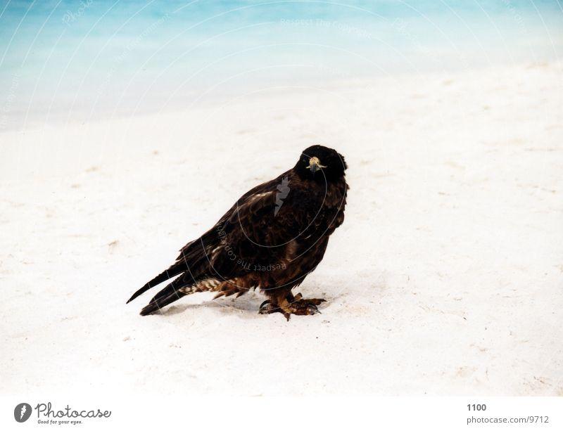 Bussard Wasser Meer Strand Ferien & Urlaub & Reisen Tier Sand Vogel Greifvogel Galapagosinseln