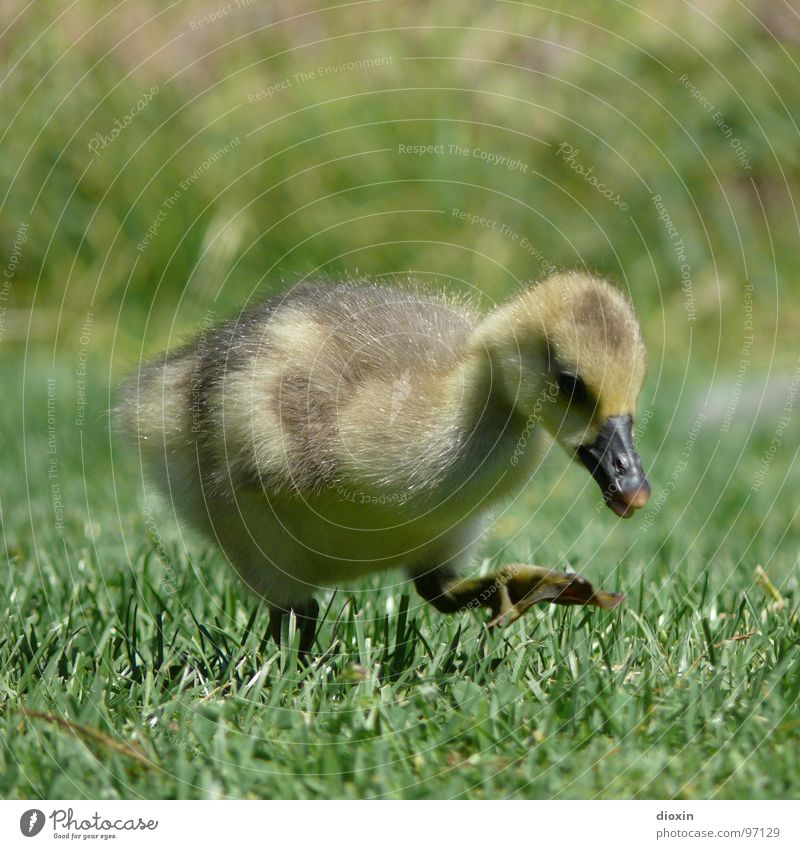Step By Step Natur Tier Tierjunges Umwelt Wiese Gras Vogel Wildtier Feder Flügel niedlich weich Schnabel kuschlig Gans Küken