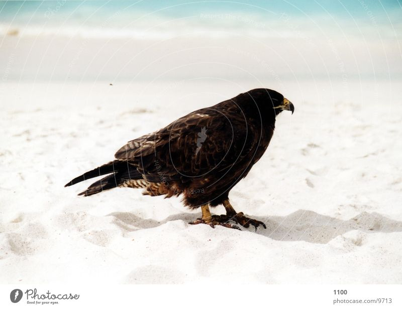 Bussard Greifvogel Vogel Tier Meer Strand Ferien & Urlaub & Reisen Galapagosinseln Wasser Sand zutraulich