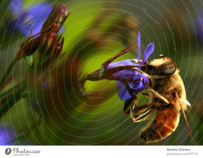 SUR LA CHASSE Biene Insekt Wespen Hornissen Ekel Tier trinken Ernährung genießen Blume Blumenkasten Balkon Pflanze Fortpflanzung verbreiten gelb Vielfältig